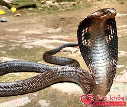 Nọc rắn hổ mang rất độc, gây chết người, khi dùng làm thuốc nên chặt bỏ cả phần đầu chứa túi nọc.