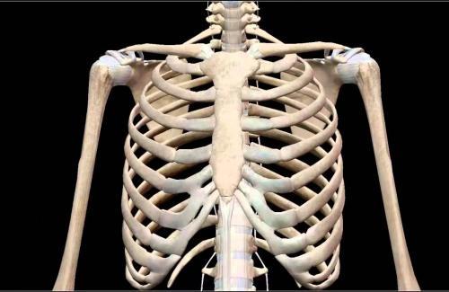 Lồng ngực là gì? Cấu tạo và chức năng của lồng ngực